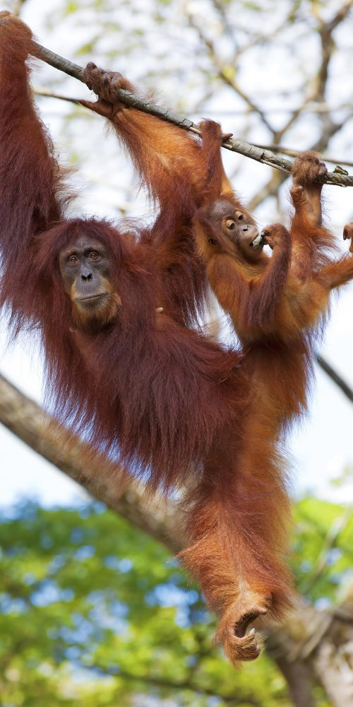 Orangutan in the jungle of Borneo, Malaysia / Photo credits: kjorgen / 2015 / Source: depositphotos.com, ©2019