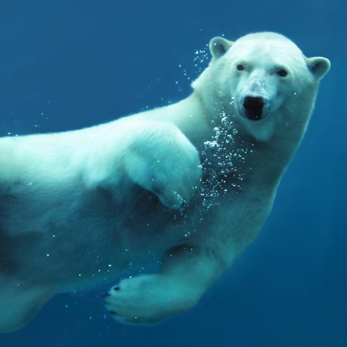 Close-up of a swimming polar bear underwater looking at the camera / Photo credits: Mirage3 / 2010 / Source: depositphotos.com, ©2019