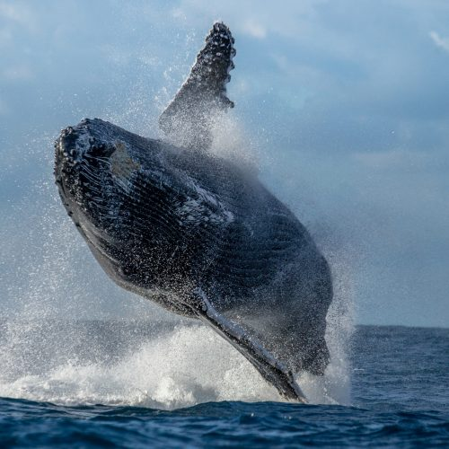 Humpback Whale Jumping Out Of The Water / Photo credits: GUDKOVANDREY / 2015 / Source: depositphotos.com, ©2019