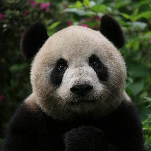 Giant panda Xinxin is pictured at the Chengdu Research Base of Giant Panda Breeding before it leaves for Macau in Chengdu city, southwest China's Sichuan province / Photo credits: Imaginechina-Editorial / 2015 / Source: depositphotos.com, ©2019